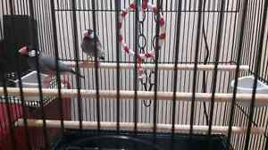 Pair of Java Rice Finches (Sparrows) with a cage & accessories