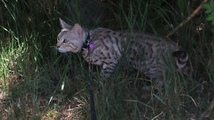 Stunning grey male Bengal