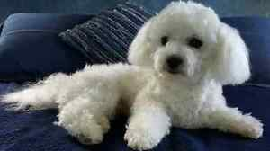 BIchon Frise Puppies! Home Raised. Males  Available! Kitchener / Waterloo Kitchener Area image 10
