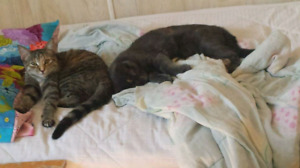 2 female cats. Can go together or seperate