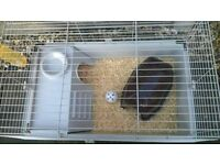 Male black Guinea pig for sale