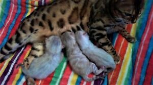 Supreme Registered Snow Bengal Kittens