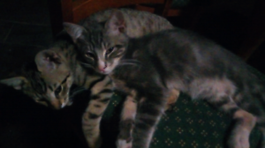 2 FOUR MONTH OLD MALE KITTENS FREE TO GOOD HOMES