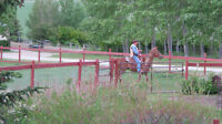 Purbred Tennessee Walker Mare