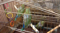 3 Baby Lovebirds looking for pet forever homes