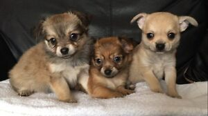 Super Cute Longhaired Chihuahua puppies
