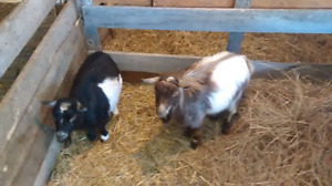 Pygmy goat's breeding pair