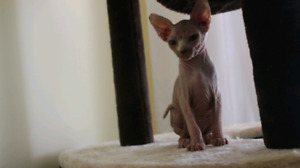Beautiful Female Sphynx Kitten