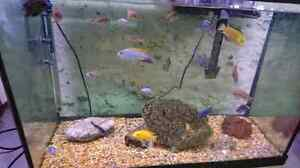 Assorted African cichlids  Kitchener / Waterloo Kitchener Area image 1