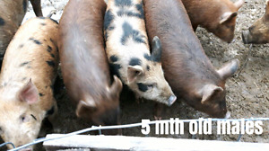Organically Fed Heritage Pigs