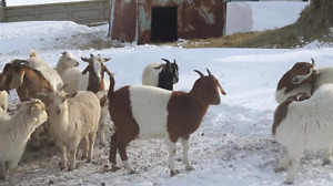 Butcher goats for sale