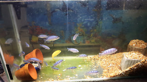 Selling cichlids 5.00 each need gone