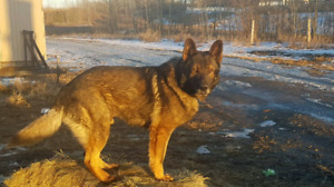 Intact male German Shepard