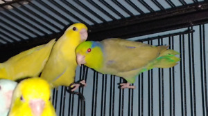 Parrotlets, pair and singles