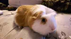 Guineapig needs new home