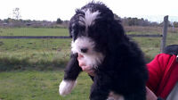 Bernedoodle puppies with lots of great markings, ready to go now