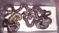 2015 Ball Python Morphs (Rehoming Late Sept)