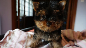 MICRO TEACUP YORKIE FEMALE~DOLLY FACE~ STUNNING !