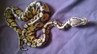 snakes and leopard geckos for sale