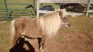 Matched Pair Palomino Mini/ Miniature  Mares $ 800.