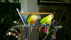 Green cheek and Pineapple pair Conure birds for sale