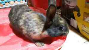 Mini Rex cross harlequin doe