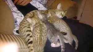 Beautiful Savannah kittens
