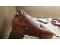 Pair of bearded dragons leatherback het hypo translucent high end top quality dragons 2x