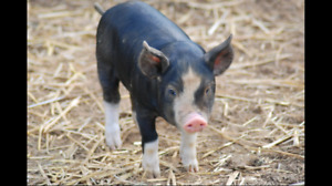 Looking for Heritage breed piglets