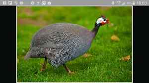 wanted guinea fowl