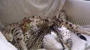Beautiful Savannah kittens.