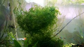 Fishtank plant / Aquarium plant Java moss