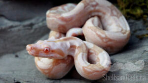 Top Quality Boa Constrictors Available