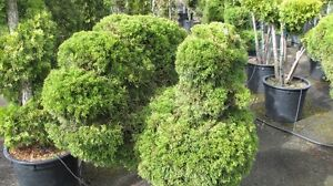 Topiary on clearance