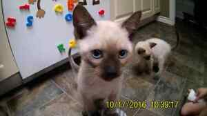 10 week old classic Siamese kittens!