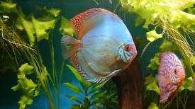 7 Stendker Discus for Tropical Fish Tank Aquarium