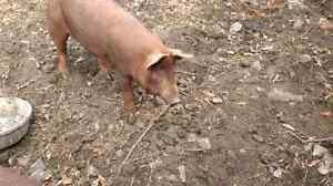 Heritage gilt for sale (red wattle hog)