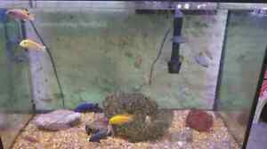 Assorted African cichlids  Kitchener / Waterloo Kitchener Area image 3