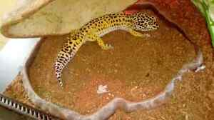 Male Leopard gecko named clyde