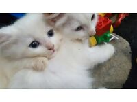 2 pure white fluffy kittens (1 Persian X)