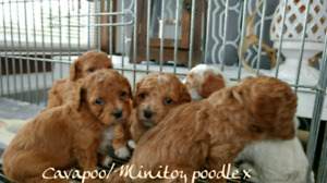 Nonshedding cavapoo/poodle x