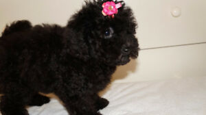 Super Sweet Black Toy Poodle Puppy Girl
