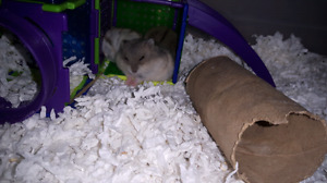Baby Russian dwarf hamster for sale