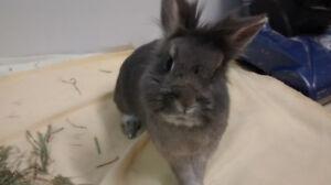 Lionhead/dwarf Rabbit