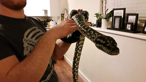 Jungle Carpet Python to a good home