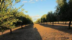 "OLIVE ORCHARD IRRIGATED / INCOME / 8"" BORE+ 90 MEG WATER LICENCE Murrayville Mildura City Preview"