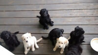 Bord-Doodle Puppies Ready to go
