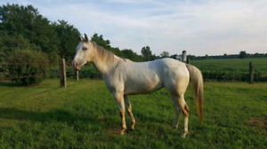 Beautiful Appy mare