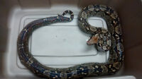 boa constrictor red tail