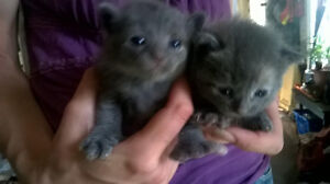 6toed kittens, gone to good homes